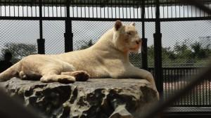 こいつは白いライオンか?